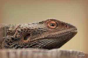 A Bearded Dragon sunning himself