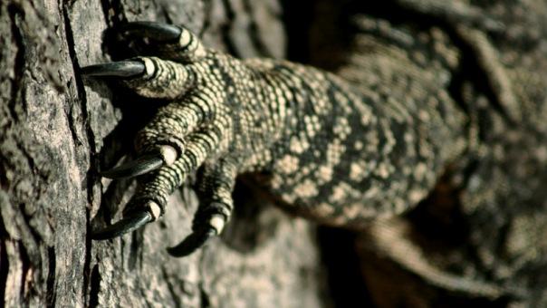 2-Goanna front claws