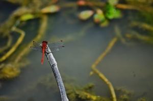 RedDragonfly   Nov 19 (1024x681)