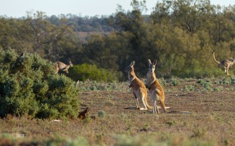 Red kangaroo joeys