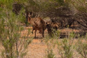 Roos in the shade Nov 2015 (Medium) (2)